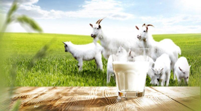 Sữa dê tiệt trùng chứa nhiều chất dinh dưỡng cần thiết cho bà bầu